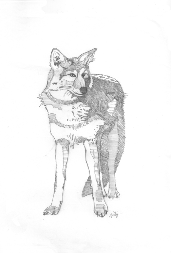 Large coyote self portrait pencil